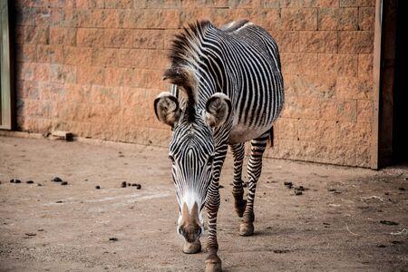 zebra in captivity in cabarceno national park in cantabria, spain