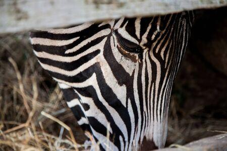 zebra head eating