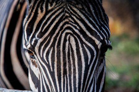 zebra head Standard-Bild