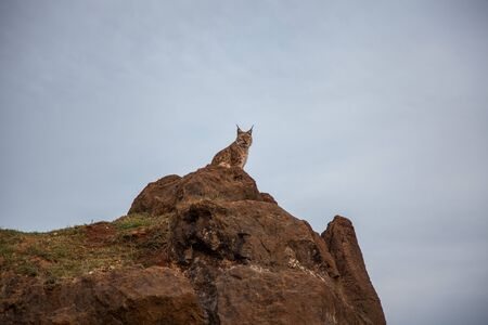 Iberian lynx in captivity in Cabarceno National Park, Cantabria, Spain