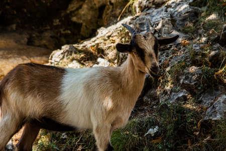 Montensa goat on the route of el cares, Asturias, Spain