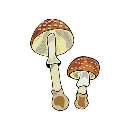 amanita: Hand drawn vector illustration of Amanita pantherina mushrooms in cartoon style. Isolated on white background.
