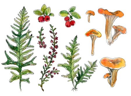 Set of hand-drawn watercolor sketch elements Chanterelles,cranberry, fern, grass, blooming heather isolated. Natural forest elements for your design for cards, packaging, sovereign products