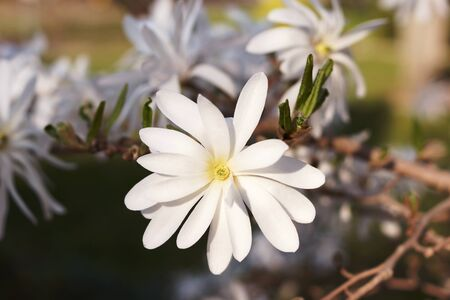 Magnolia stellata flower. White flower star magnolia bloom on Magnolia tree. Single white flower of magnolia, flowering tree in the garden, close up. fresh spring flowers background