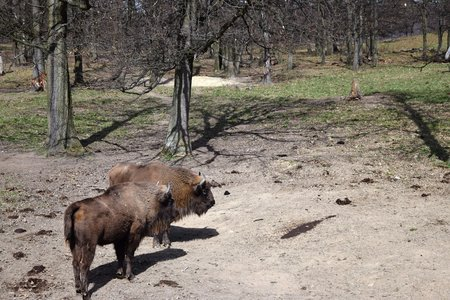 meadowland: European brown bison (Bison bonasus) that live in nature reserves in Europe
