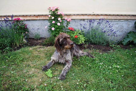 drathaar: Hunting dog on sunny day, German wirehaired pointer . Stock Photo