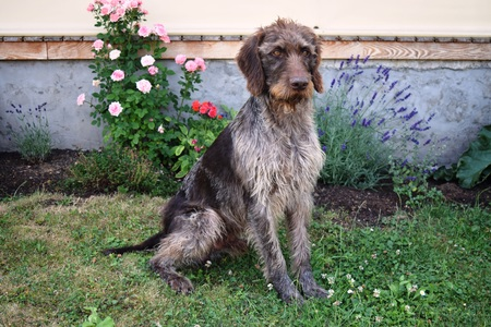 Hunting dog on sunny day, German wirehaired pointer . Stock Photo