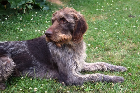 reinforcement: Hunting dog on sunny day, German wirehaired pointer . Stock Photo