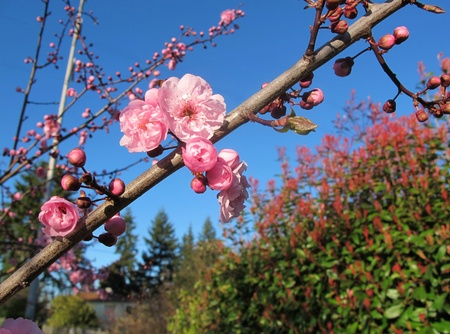 Pink flower buds beginning to blossom on a tree in early spring, deep blue sky, selective focus on foreground   版權商用圖片