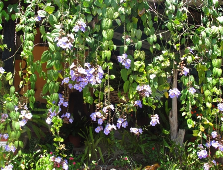 flowered: A wall of hanging flowered tropical vines and hanging baskets in Puerto Vallarta, Mexico