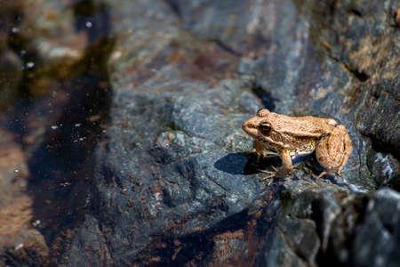 ridibundus: Marsh Frog