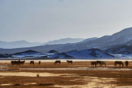 climatic: Horses near Khan-Tengry mountan, Kazakhstan Stock Photo