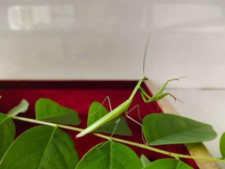 Praying mantis . giant African mantis, Sphodromantis viridis in the wild amongst a bush in a garden in cyprus during may.