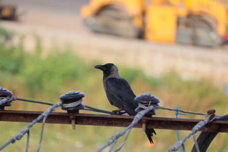 The house crow, also known as the Indian, greynecked, Ceylon or Colombo crow, is a common bird of the crow family that is of Asian origin but now found in many parts of the world. - Image