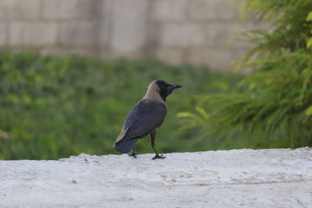 The House Crow or The Indian Grey-necked 스톡 콘텐츠