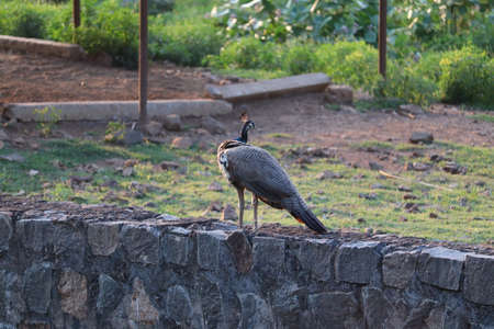 The Indian peafowl or blue peafowl , a large and brightly coloured bird, is a species of peafowl native to South Asia.Peacock sitting on the fence. Stock Photo