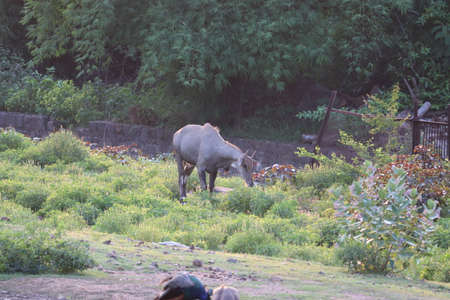 A Nilgai, also known as a blue bull stands proudly in his habitat surveying his surroundings. Photo shot in Ranthambore. 写真素材
