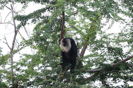 Portrait of Lion-tailed Macaque, Macaca silenus. Funny monkey, face to face look. Clear green background.