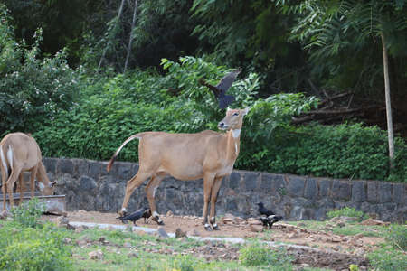 Female Nilgai (Boselaphus tragocamelus) standing lonely and wilderly in front of the safari vehicle without any fear sighted
