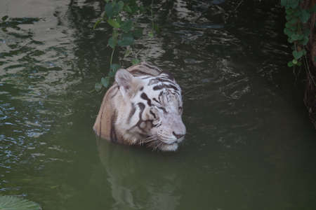 White tiger. Tiger in wild summer nature. White tiger walking / swimming in river. Action wildlife scene with danger animal. Singapore Terrain. Close up shot. - Image