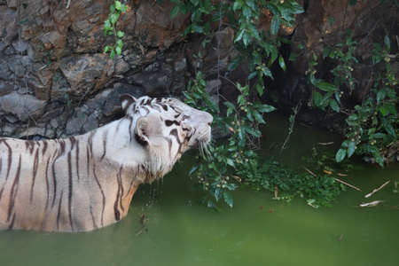 White Bengal Tiger Wading in Water in Tropical Climate Lake