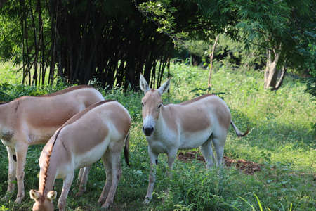 Indian wild ass or Baluchi wild ass (Equus hemionus khur) also called the ghudkhur in the local Gujarati language, is a subspecies of the onager native to Southern Asia. - Image