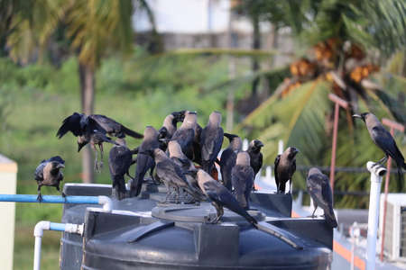 morning community meeting of group of crows Stock Photo