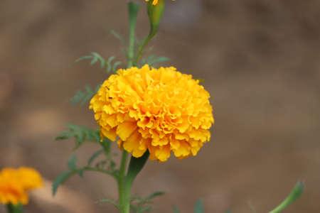 Orange Merygold blüht - Image