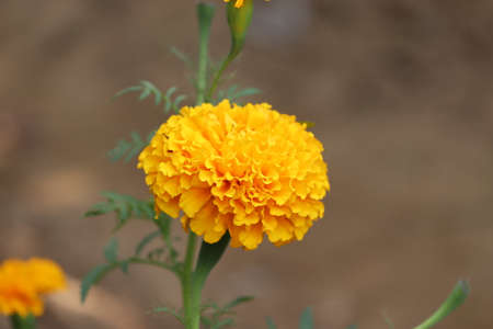 orange merygold blooming - Image