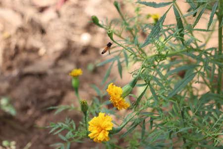 Bee on double orange marigold, genus Tagetes, or species Calendula officinalis brighten up the autumn garden