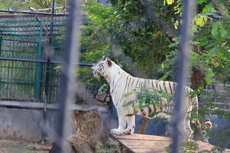 a tiger is climbing the fence to see visitors inside the zoo.white tiger standing in grass looking at the outside,india(Royal Bengal Tiger) Banque d'images - 137783154