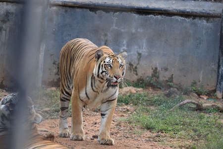 Tiger in the nature habitat. Tiger male walking head on composition.beautiful Bengal tiger, queen tiger