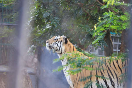 a tiger is climbing the fence to see visitors inside the zoo.white tiger standing in grass looking at the outside,india(Royal Bengal Tiger) Standard-Bild