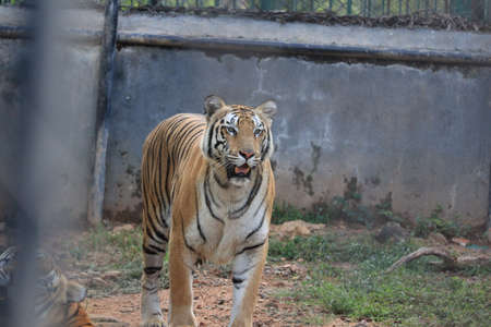 a tiger is climbing the fence to see visitors inside the zoo.white tiger standing in grass looking at the outside,india(Royal Bengal Tiger) Banque d'images - 137770762