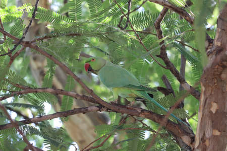 Green parrot (bird) Great-Green Macaw. Wild rare bird in the nature habitat, sitting on the branch.