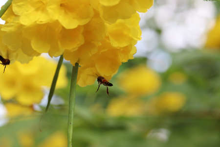 A close up of flying bee on yellow flowers background.flying honey bee