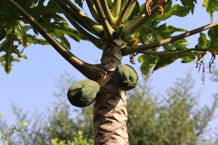 Papaya is a typical fruit of tropical countries such as Indonesia. This plant is often found in people's homes. The benefits are numerous for health.