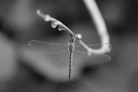 macro closeup shot of dragon fly on the monochrome background