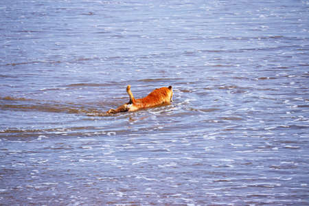 Yellow dog on the beach swimming in summer, chennai Standard-Bild