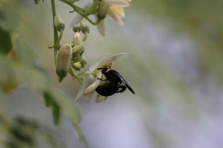 black wasp resting on saga white flowers with blurry background