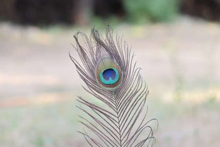 micro shot of peacock feather in india
