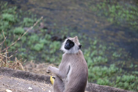 black mouth langur monkey with it hand banana, outdoors wild animals