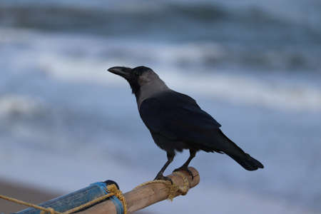 close-up of white necked Indian street or wild black crow bird on the beach with blur beach background Stock Photo
