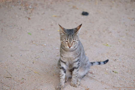 closeup of a domestic or pet female cat setting on sandy ground in garden, domestic animals, big wild cat