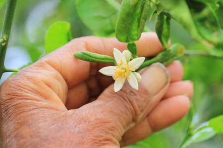 young white flowers of lemon growing in garden with human hand, rowing Organic Lemon flowers. Lemon Tree