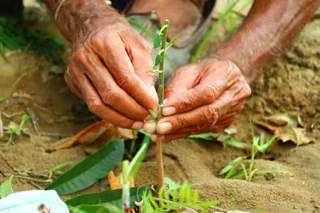 grafting .Live cuttings at grafting plant in cleft with growing buds, . Closeup of plant grafting
