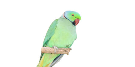Parrot isolate white background for design, closeup . Stock Photo