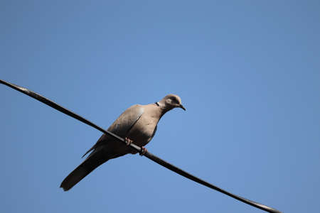 AA thar dove walking on the wire against blue clear sky,