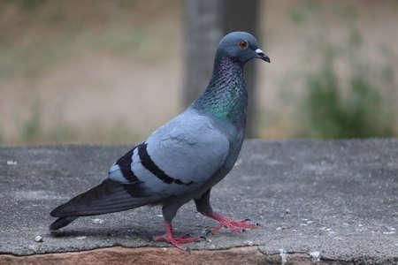 thar pigeon walking on rock in meadow