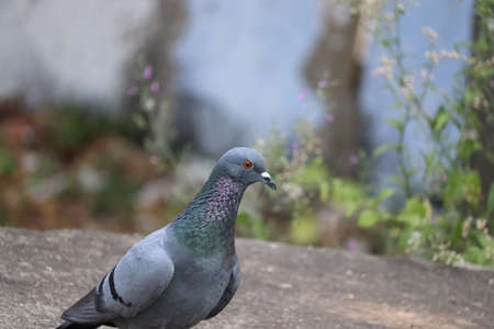 A pigeon sitting on rock in natural light, Stock Photo